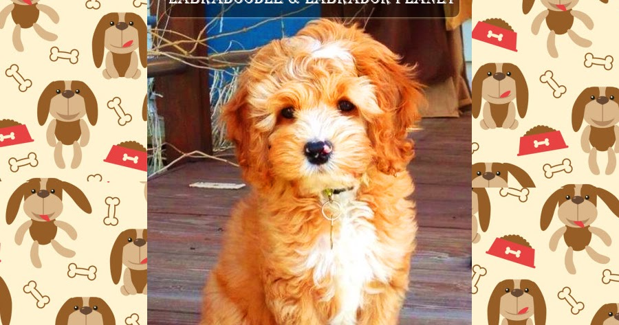 LABRADOODLE PUPPIES ARE AVAILABLE IN THIS DOG HOUSE SHOP AT THE COST-EFFECTIVE PRICE