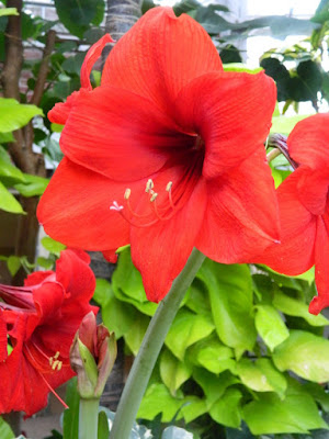 Allan Gardens Conservatory Red Lion amaryllis Hippeastrum by garden muses-not another Toronto gardening blog