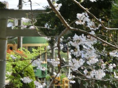 御霊神社の桜