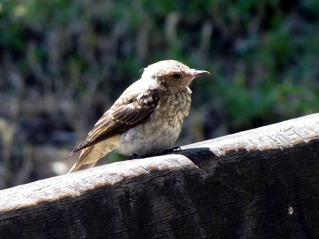Little bird on a bench, Livorno