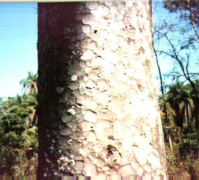Apuleia leiocarpa tronco