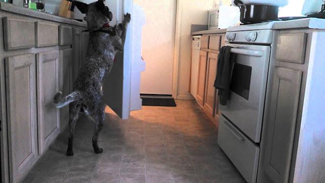 Ο απίστευτα έξυπνος σκύλος που φέρνει την μπύρα από το ψυγείο (Video)