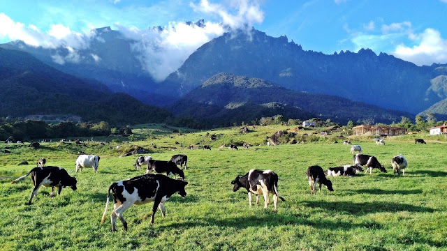 desa cattle farm dairy kundasang