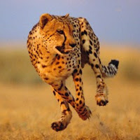 chetah is the fastest land animal