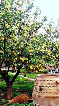 Lemon tree very pretty I pass this beautiful tree everyday