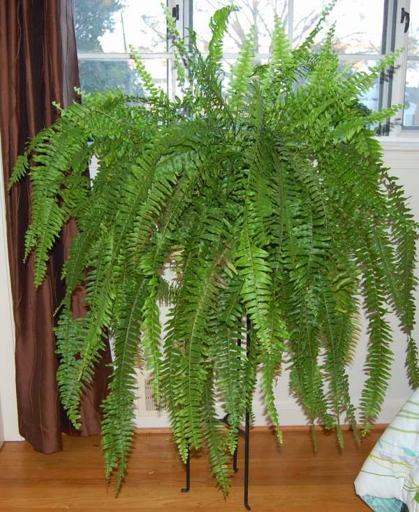 the indoor garden how to care for a boston fern autumn. Black Bedroom Furniture Sets. Home Design Ideas