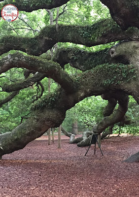 This is the Angel Oak in Charleston, SC. First, of all, it's maybe 500 years old.  It's about 68 feet tall and the distance around the trunk is 28 feet. The spread of Angel Oak's branches takes in 17,000 square feet. The branches sweep the ground on all sides. It is truly a marvel. Check this blog post for more feats of engineering!