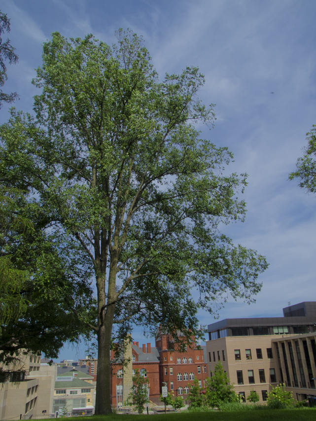 Regal Hybrid Elm