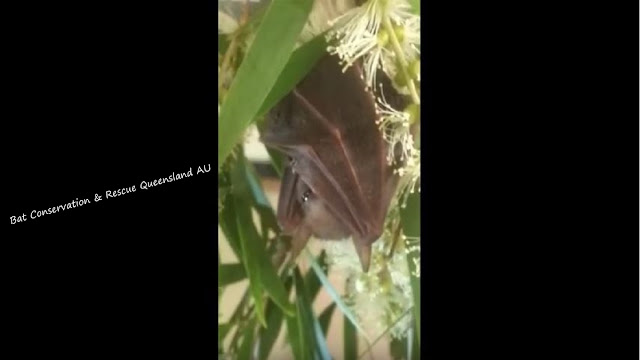 Rehab   Blossom Syconycteris australis Megabat (Fruit bat)