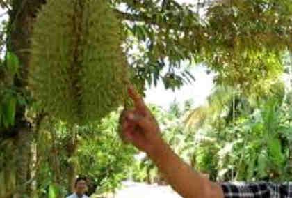 bibit unggul buah durian