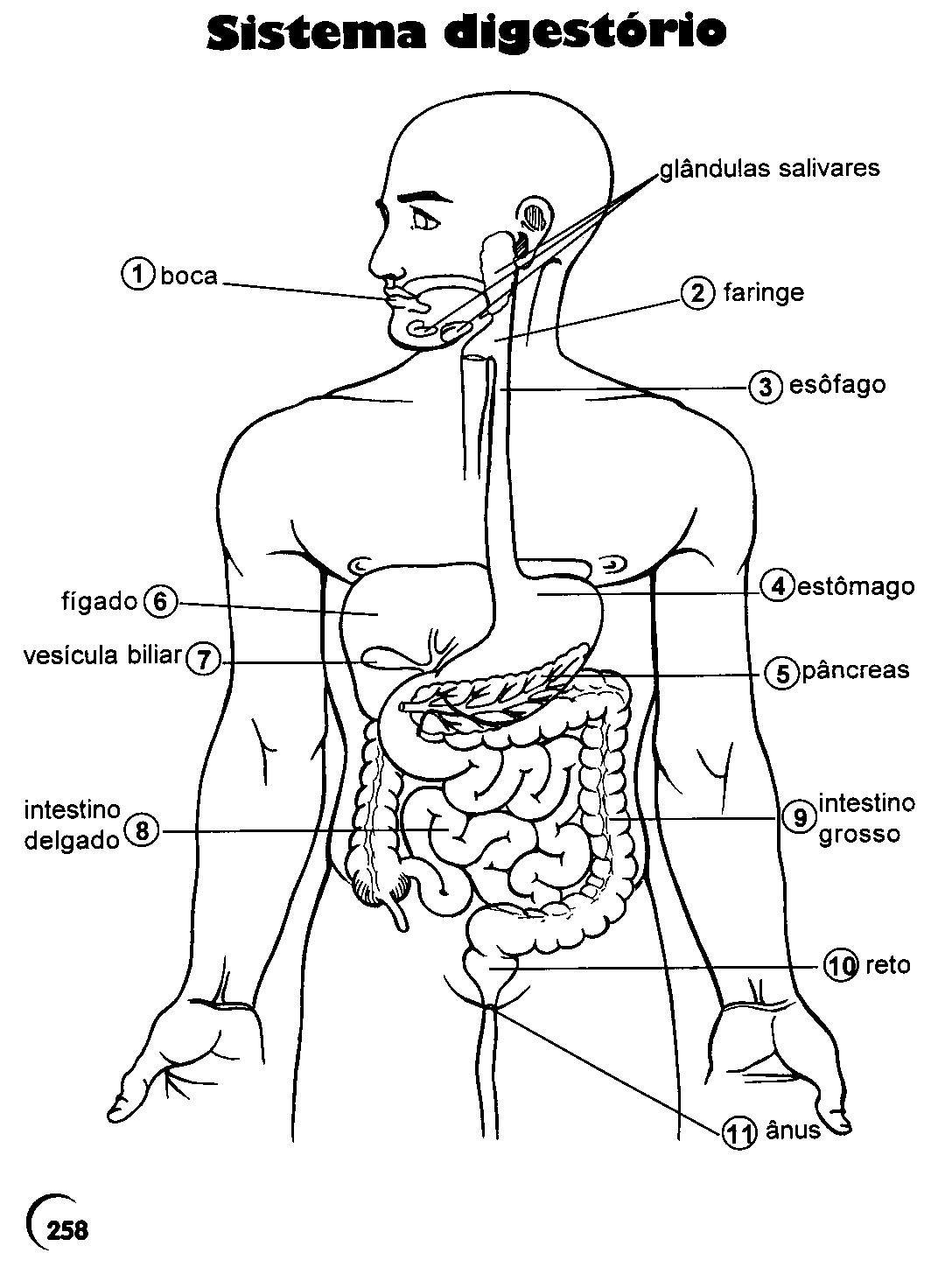 Moderno Sistema Digestivo Para Colorear Adorno - Enmarcado Para ...