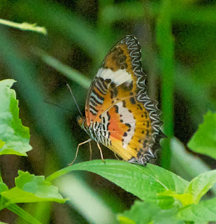 Malay Lacewing (Cethosia hypsea)