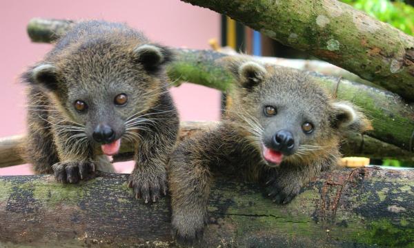 Baby Animals: Baby Binturong 7