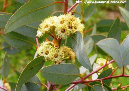 Blog de plantas es bueno fumar hojas de eucalipto para - Informacion sobre el eucalipto ...