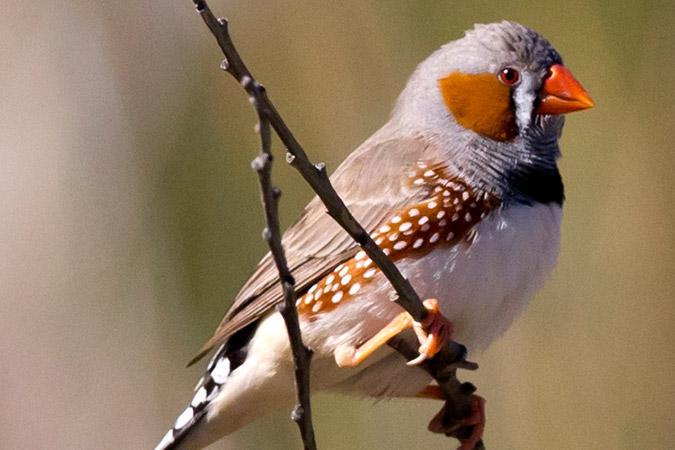 Penelitian Zebra Finches Identify Individuals Using Vocal Signatures Unique to Each Call Type