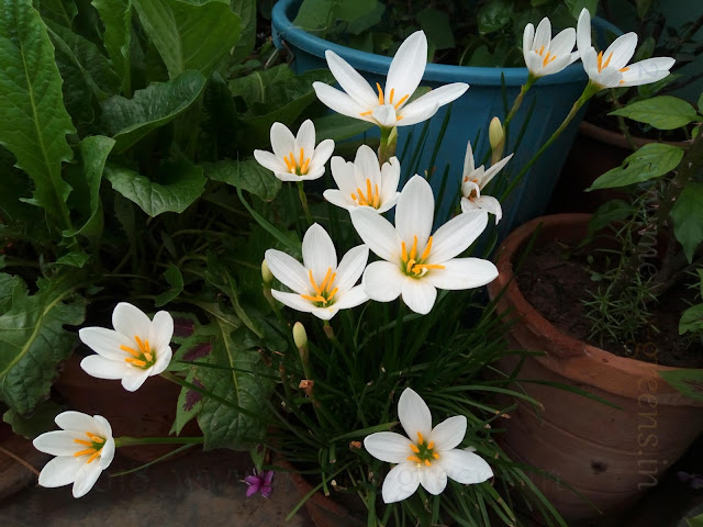 Bunch of White Rain Lily Blooms