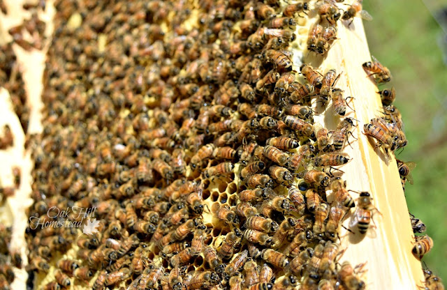 Honey bees in a hive.