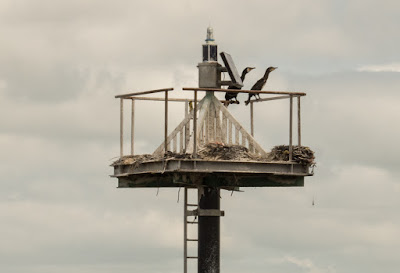 Photo of cormorants on a navigational buoy