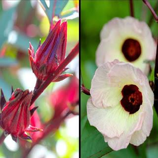 Gambar Bunga Alamanda yang Indah 20