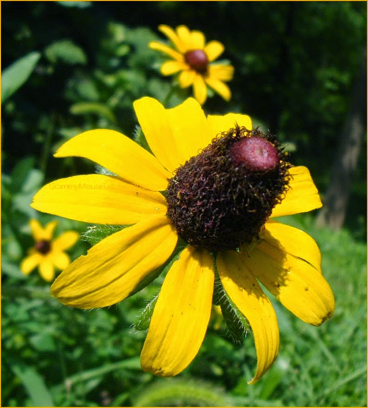 black eyed susans - seed head - top hat- photo image