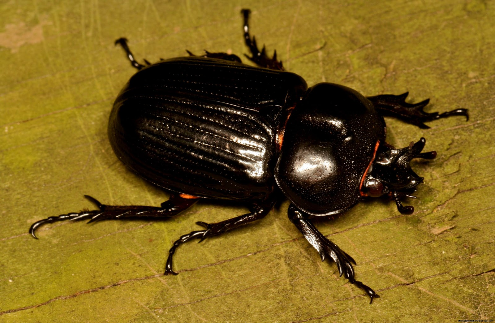 Flying Beetle Insect | Wallpapers Gallery