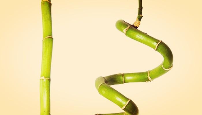 Bambu enrulado para jardin
