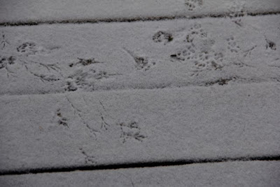 tracks in snow dust: red squirrel, downy woodpecker, and ???