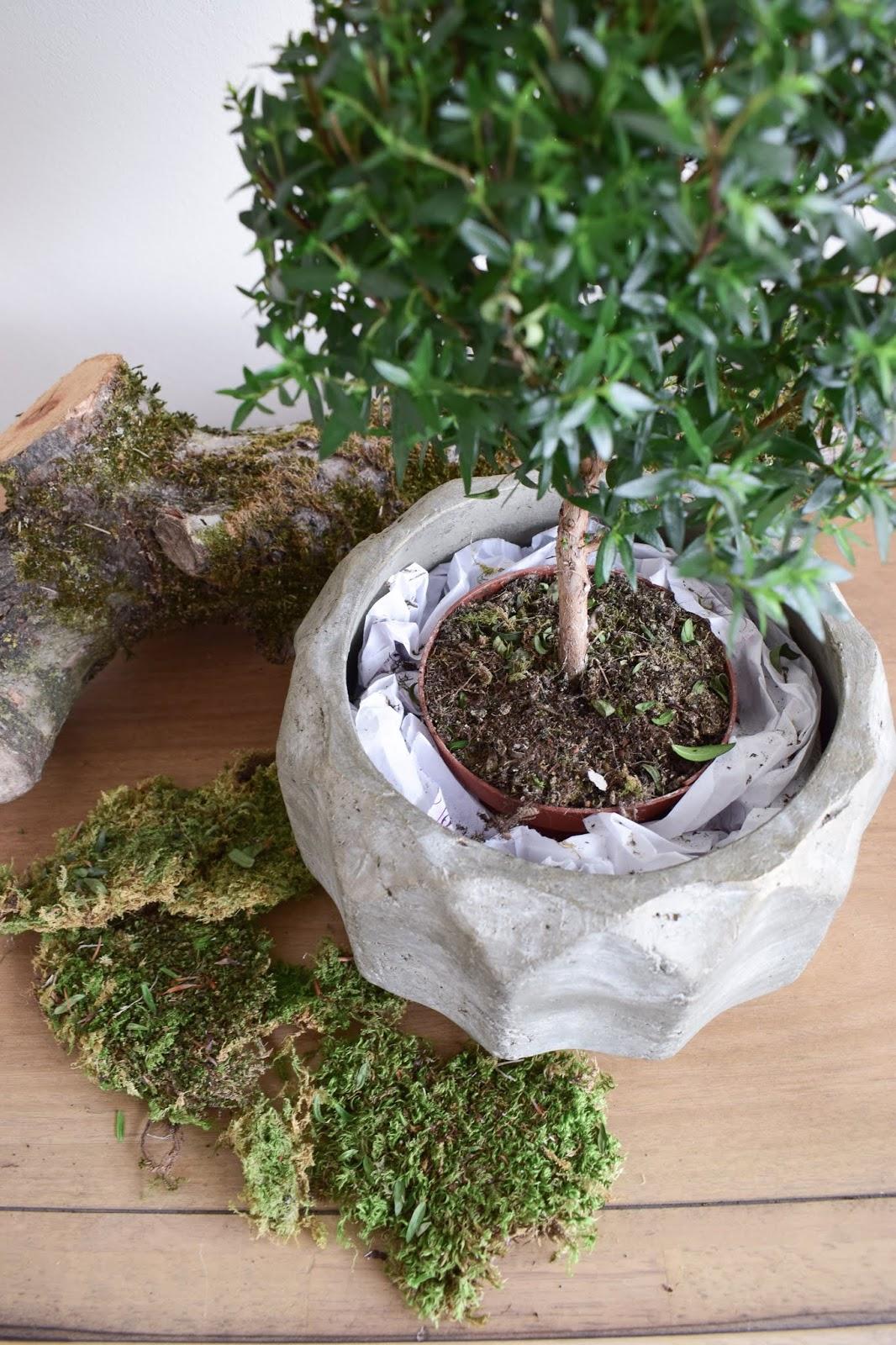 Deko mit Moos: Naturdeko mit Topfpflanze: Verschönerung Übertopf Zimmerpflanze mit Moos Eukalyptus Schleierkraut. Myrte Dekoidee Deko Dekoration Übertopf natürlich dekorieren einfach selbermachen