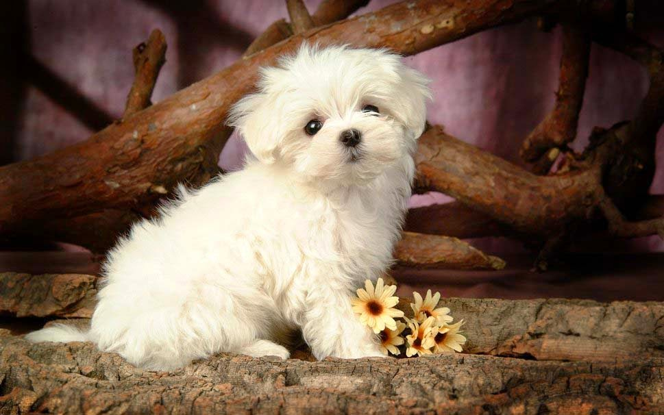 a-image-cute-puppy-white