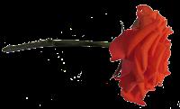 Rosa laranja png