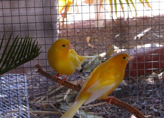 Cara Ternak Burung Kenari Bagi Pemula yang Baru Mencoba ...