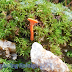 Little orange mushroom