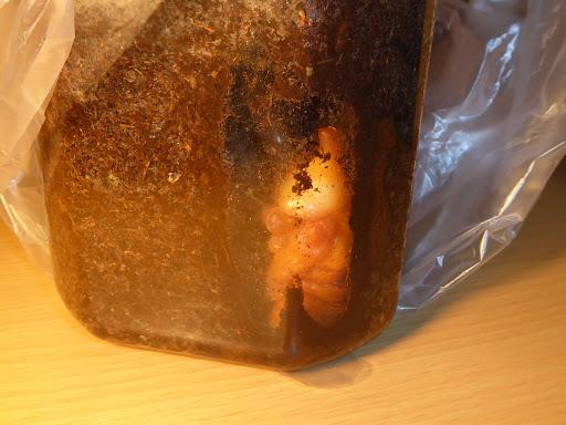 カブトムシ(雄)の蛹