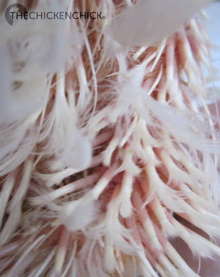 Newly emerging feathers have a vein-filled shaft which bleeds when injured.
