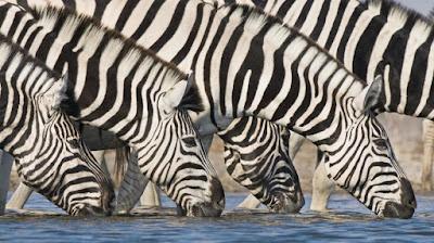 Una cebra, ¿es un animal blang en rayes negres, o negre en rayes blanques?