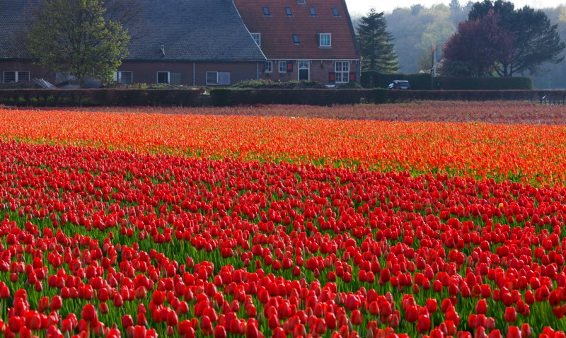 Granja de tulipanes