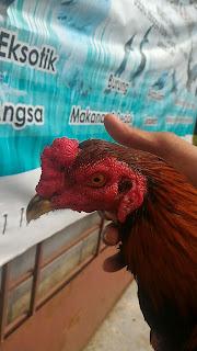 ayam sabung malaya, ayam batang kaki malaya