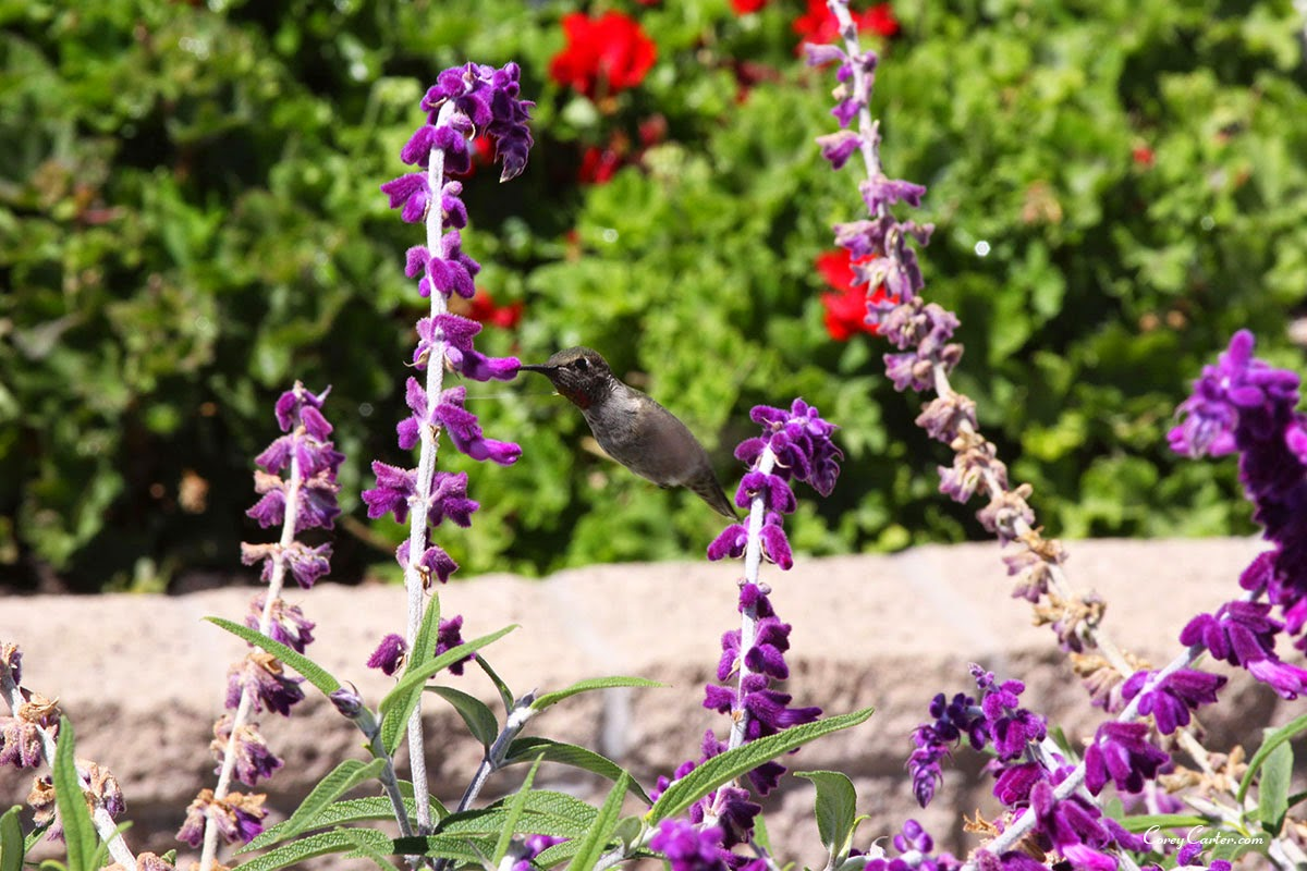 Hummingbird - Cambria, CA