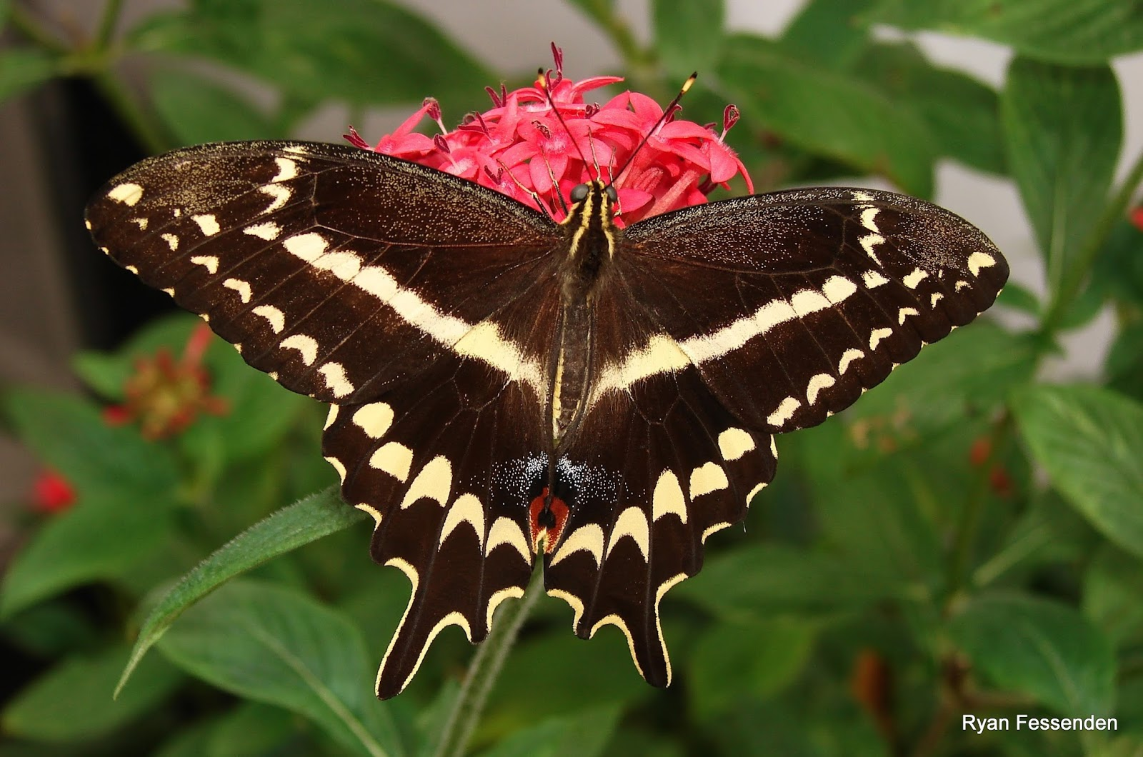 National Parks: Biscayne And The Schaus Swallowtail