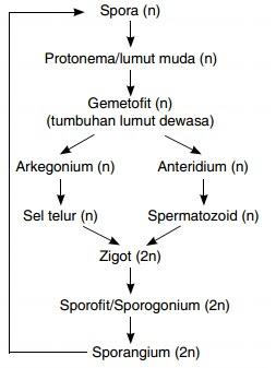 buatlah skema pergiliran keturunan (metagenesis) tumbuhan lumut...