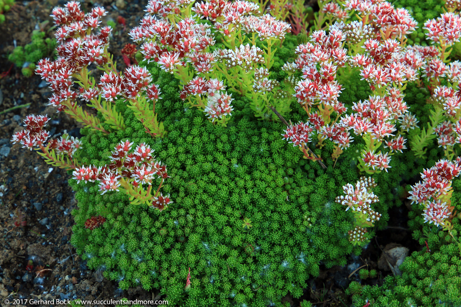 Succulents And More Cold Hardy Sedums