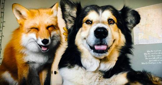 Un zorro y un perro se han convertido en mejores amigos
