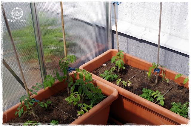 Gartenblog Topfgartenwelt Tomaten Tomatenanbau in großen Töpfen und Trögen: Tomaten Balkon Sorte