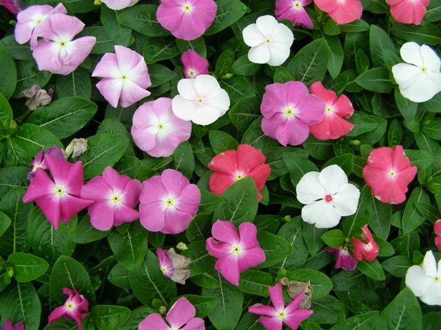 Plantas e jardins plantas flores e jardinagem planta for Plantas ornamentales mas comunes