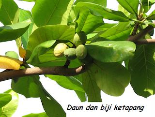 bibit tanaman ketapang kencana | tanaman ketapang kencana | budidaya ketapang kencana | manfaat ketapang kencana | ciri-ciri ketapang kencana