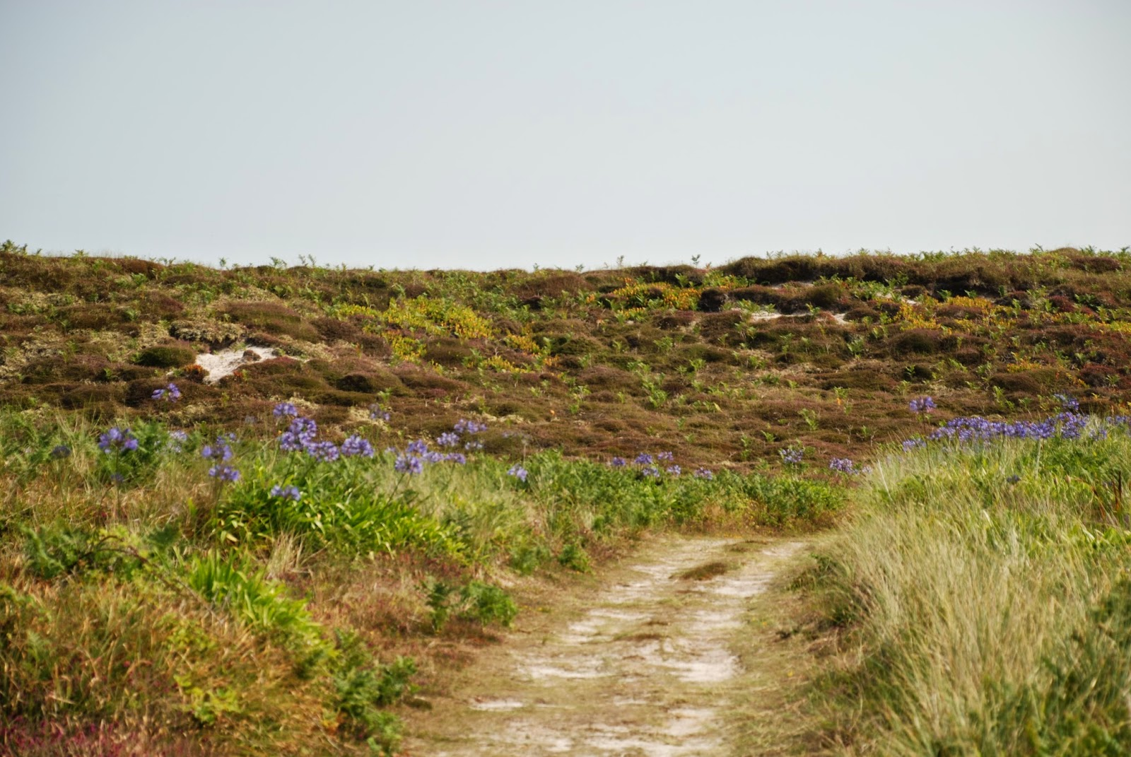 Wild Agapanthus growing on Tresco