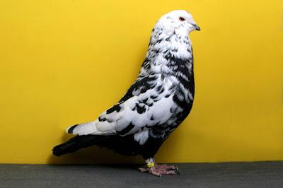 mondain pigeons-jewel mondain-tiger color pigeons