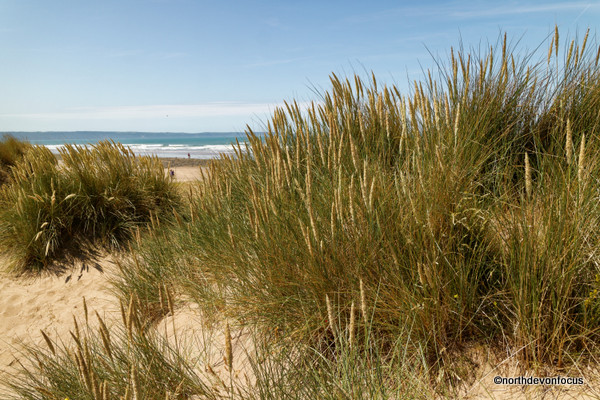 The saviour of the Sand Dunes is Marram Grass  - Photo copyright Pat Adams