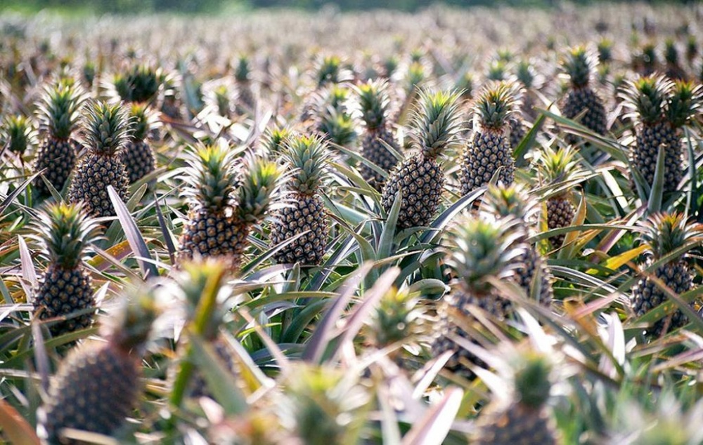 Home garden a pousse sur quoi - Sur quoi pousse les ananas ...