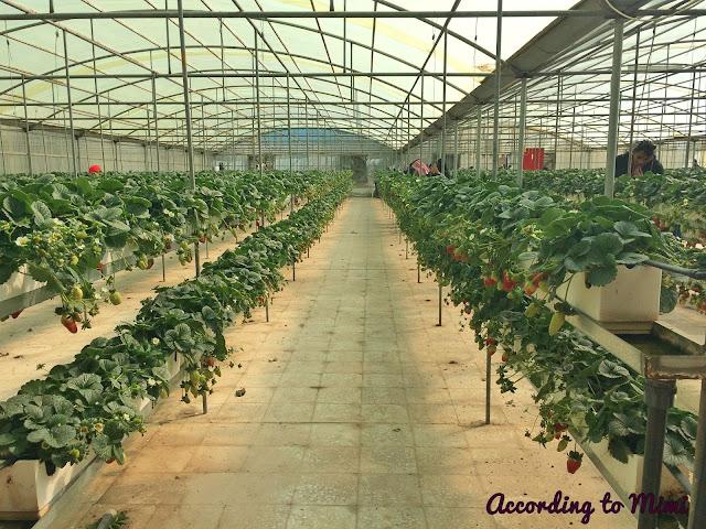 Juicy yummy strawberries